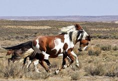 The Wild Mustangs of Sand Wash Basin Stallion Picasso & mare Mingo All The Pretty Horses, Beautiful Horses, Animals Beautiful, Horse Photos, Horse Pictures, Wilde Mustangs, Cheval Pie, Painted Pony, Majestic Horse