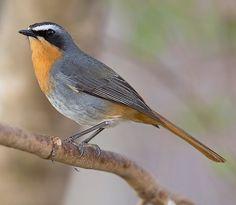 cape robin bird - Google Search