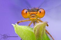 Orange bluet - Enallagma signatum