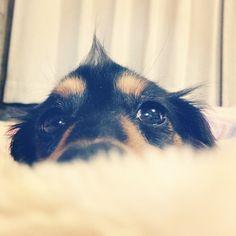 おはよ~ございます꒰⁃͈ुᴗོ⁃͈꒱۶☀モフっとクリ頭で起きたよ~今日は大阪のでんでんタウンに行くよ~きっと人いっぱいだろうな~꒰๑•͈зོ•͈꒱੭ुワンワン吠えてる車見たらエル&リポりんかもね꒰ૂ˃ꌂ˂ོૂ⋆꒱ #dog #dachshund #犬バカ部  #短足部 #カメラ嫌い同好会