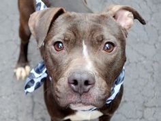 GONE 04/14/15 --- Manhattan Center   ZIG ZAG - A1031982  FEMALE, BLACK / WHITE, PIT BULL MIX, 1 yr STRAY - EVALUATE, NO HOLD Reason STRAY  Intake condition EXAM REQ Intake Date 04/02/2015 https://www.facebook.com/Urgentdeathrowdogs/photos/pb.152876678058553.-2207520000.1428259916./987168201296059/?type=3&theater