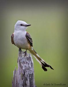 Scissor-tailed Flycatcher by cmescamilla