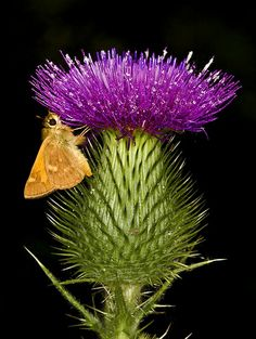 Thistle Cirsium horridulum flower