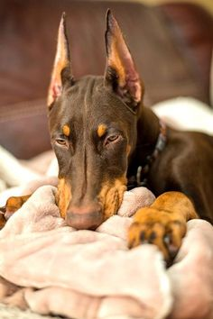 Hmmmm.... Imagine that; another Doberman that has a suckie blanket! My beautiful Justice passed this trait on to every one of her puppies. I say trait because I totally believe it's 100% genetic. They just daze out when doing this.