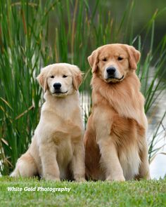 Am GCH Scion Thank God I'm A Country Boy SDHF and Scion SoGo The Gr8t & Powerful Southern Grown Goldens - Local Dog Breeders, Golden Retriever Breeder, Dog Breeder Websites