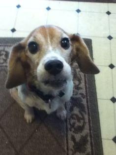 My doggie and her dumbo ears