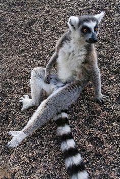 Lemur!! Haa lemurs sexy pose