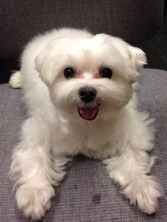 #Maltese #Puppy #dog