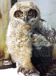 Great horned owl toddler :)