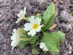 In december al een beetje voorjaar dankzij primula vulgaris - Tante Tuin December