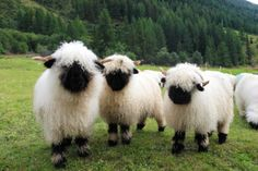 These are Suffolk sheep from England.  I never got tired of watching them in the fields..