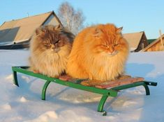 Alla Lebedeva and her husband, Sergey have been a huge cat persons for over a decade. Their favorite breed are the Siberian cats. Siberian Forest Cat, Siberian Cat, Rare Cats, Cats And Kittens, Cats Bus, Gato Serval, Cat Vs Cat, Gato Munchkin, Cat Club