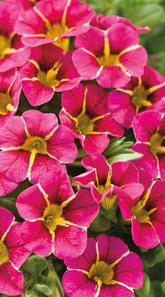 A stunning variety for those who like their pink nice and bright! Superbells Cherry Star will grow from spring into fall, and the petite blooms can grace any container in sun or part sun.