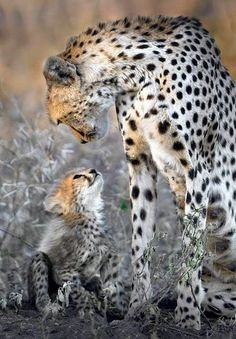 Cheetah mother and child