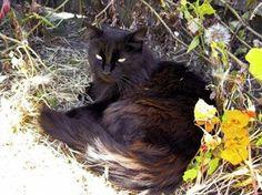 Rare cat breeds and Breed information - Chantilly-Tiffany Cat