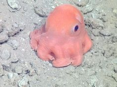 Dumbo Octopus (Grimpoteuthis) There are 18 known species of dumbo Octopus, found between depths of 400 and metres! This is the deepest known octopus species. Dumbo Octopus, Baby Octopus, Cute Octopus, Deep Sea Creatures, Cute Creatures, Beautiful Creatures, Animals Beautiful, Cute Baby Animals, Animals And Pets