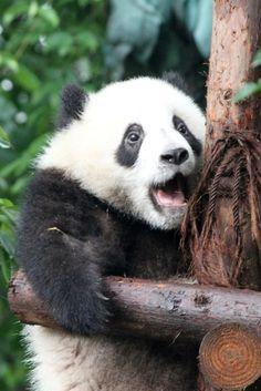 shinobu-shin さんの パンダ ボードのピン   Pinterest