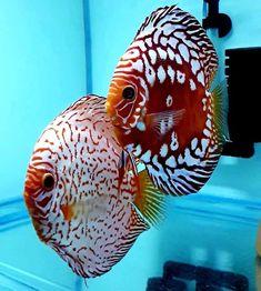 Tropical Freshwater Fish, Tropical Fish Tanks, Freshwater Aquarium Fish, Diskus Aquarium, Aquarium Pictures, Oscar Fish, Amazing Aquariums, Pet Fish, Fish Fish