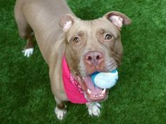 CURRENT STATUS UNKNOWN 07/06/17 **ON PUBLIC LIST** A volunteer writes: Meet Hennessy, our resident athlete extraordinaire! Tomboys don't come any cuter than this gorgeous girl, and her love for people is as robust as her mighty ball-fetching muscles are strong. Always on the go and ready to make new friends, Henny arrived with her equally sporty sister Hazel, but she's not a fan of other dogs (even Hazel), and prefers to spend her days running, jumping, hugging and getting loved on by…