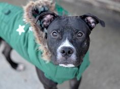 TO BE DESTROYED - 01/30/15 Brooklyn Center -P  ~~ PUPPY ALERT!!~~ My name is RICCO aka MARSHALL. My Animal ID # is A1021981. I am a male black and white am pit bull ter mix. The shelter thinks I am about 11 MONTHS old.  I came in the shelter as a STRAY on 11/30/2014 from NY 11231, owner surrender reason stated was PERS PROB.
