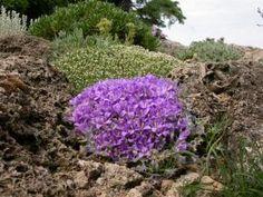 Edraianthus pumilio image 1