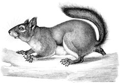 Antique Squirrel Engraving from The Graphics Fairy