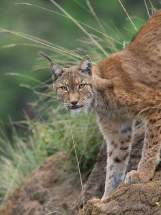 Lynx - Parque de la naturaleza de #Cabarceno #Cantabria #Spain