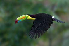 Keel-billed Toucan - by Doug Brown