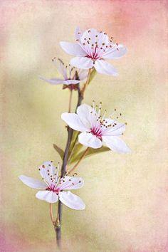 sweet plum blossoms --- Copyright Jacky Parker