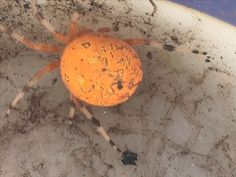 The pumpkin spider (more formally known as a marbled orb weaver), becomes more conspicuous in fall, when its large size and orange abdomen become noticeable. It's often seen as Halloween nears!   Iowa DNR