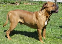 Side view - a brown, black and white large bulldog type dog standing in a grassy yard facing the right. Its tail is long and it has wrinkles on its snout.