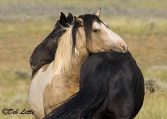 Lean On Me shows wild horses of the McCullough Peaks Wild Horse Range in Wyoming