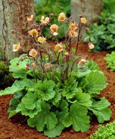 Geum /ˈdʒiːəm/,[1] commonly called avens, is a genus of about 50 species of rhizomatous perennial herbaceous plants in the rose family, geum coppertone - Google Search