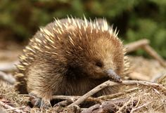 The echidna has spines like a porcupine, a beak like a bird, a pouch like a kangaroo, and lays eggs like a reptile. Also known as spiny anteaters, they're small, solitary mammals native to Australia, Tasmania, and New Guinea. They're usually between 12 and 17 inches long and weigh between 4 and 10 pounds.