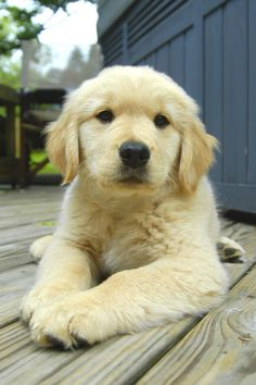 Golden Retriever, great family dog
