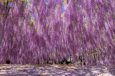 Countdown to Spring- Day 57 Flower - Wisteria! This 144-Year-Old Wisteria In Japan Looks Like A Pink Sky - This is Amazing & Beautiful!  #wisteria #flowers