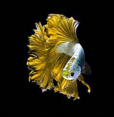 #KoiFish Betta Fish Tattoo, Betta Fish Care, Pretty Fish, Beautiful Fish, Colorful Fish, Tropical Fish, Aquariums, Carpe Koi, Beta Fish