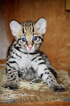 Endangered kitty                 Lindy, an ocelot kitten, leaves her nesting box for the first time on Aug.14. Lindy, born June 26, and her parents are part of the Species Survival Plan to assist a decreasing ocelot population.