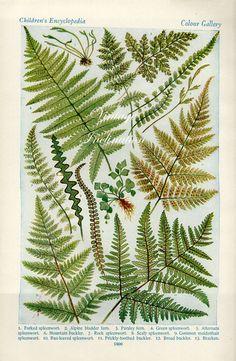 Antique Print, 1920 FERNS Chart botanical fern beautiful British wall art vintage color lithograph woodlands illustration