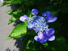 6月7日ガクアジサイ】学名:H. macrophylla f. normalis形態:落葉樹 樹高:低木分類:アジサイ科花色:装飾花は白色・青色・淡青緑色・または淡赤紫色、両性花は濃紫色。使われ方:庭木、公園樹などとして使われています。