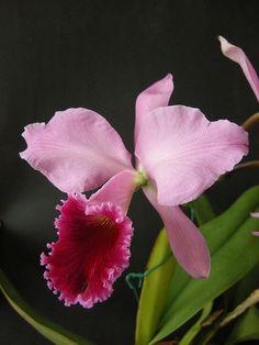 Cattleya labiata rubra Marcia Nahas