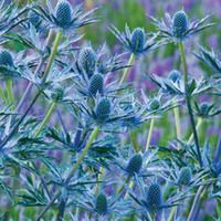 Eryngium x zabelii 'Big Blue' (Sea Holly) Colorful Plants, Colorful Roses, Blue Flowers, Rose Companion Plants, Companion Planting, Growing Flowers, Planting Flowers, Flower Gardening, Outdoor Plants