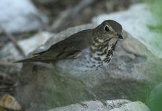 Swainson's Thrush - Swainson's thrush - Wikipedia Padre Island Texas, South Padre Island, Convergent Evolution, Winter Quarters, Bird Identification, Bird Migration, Beautiful Voice, Sierra Nevada, Ecology
