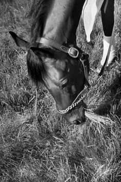 <b>Caption from LIFE.</b> Munching grass is a luxury for Citation after workout. His daily diet, above average for racer, is 20 pounds of hay, 9 quarts of oats, 2 quarts of bran.
