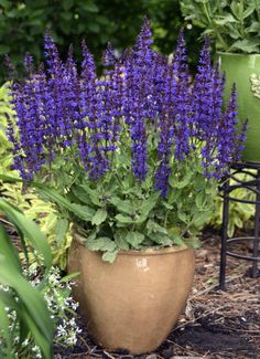 salvia violet riot alvia nemerosa is a perennial hardy in zones 6-10. Easy from cuttings, the flowers make no pollen but are very rich in nectar, making them attractive to native bees, butterflies and hummingbirds. (OPALS™ 1)