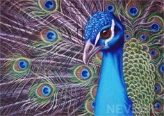 Oil pastel peacock by Nevisse