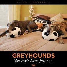 Greyhounds.....you can't have just one.  Yup, we had 2 for several yrs.  They're gone now but  we have another.