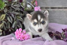 💗🌸 Looking for your new four legged family member? Meet the #Pomsky! These playful, fun loving puppies will fill your heart and home!! They love to romp and play with both children and adults. ▬▬▬▬▬▬▬▬▬▬▬▬▬▬▬▬▬▬▬ #Charming #PinterestPuppies #PuppiesOfPinterest #Puppy #Puppies #Pups #Pup #Funloving #Sweet #PuppyLove #Cute #Cuddly #Adorable #ForTheLoveOfADog #MansBestFriend #Animals #Dog #Pet #Pets #ChildrenFriendly #PuppyandChildren #ChildandPuppy… Pomsky Puppies For Sale, Lancaster Puppies, Animals Dog, Fun Loving, Four Legged, Mans Best Friend, Puppy Love, Fur Babies, Husky