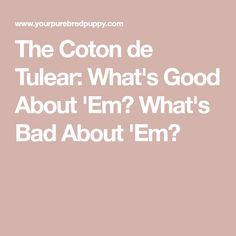 The Coton de Tulear: What's Good About 'Em? What's Bad About 'Em?