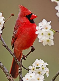 Northern Cardinal..beautiful male in blossoms